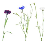 three colors cornflowers isolated on white