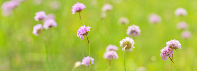 light pink wild flowers in green stripe © Alexander Potapov