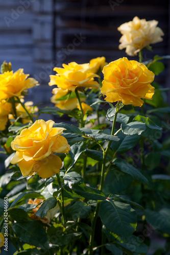 Foto Murales Beautiful yellow rose bush growing in the garden.