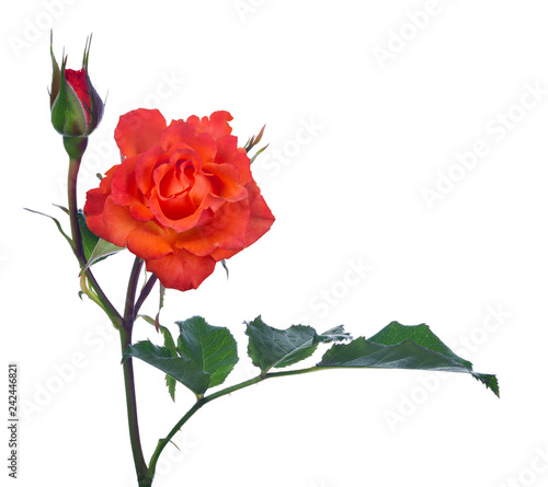 bright red rose with bud on stem