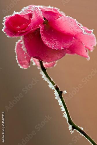 Leinwanddruck Bild Rose mit Rauhreif Winter