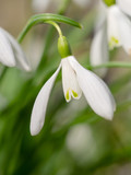 Schneeglöckchen (Galanthus) - Blüte, Nahaufnahme