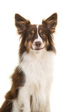 Portrait of miniature american shepherd dog looking at the camera isolated on a white background