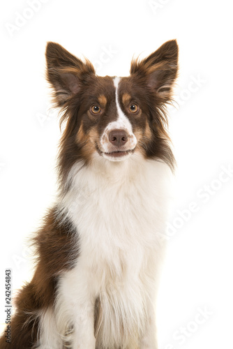 Portrait of miniature american shepherd dog looking at the camera isolated on a white background - 242454843
