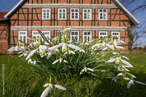 canvas print picture Schneeglöcken vor Fachwerkhaus