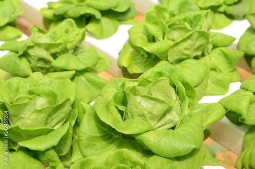 Leinwandbild Motiv Lettuce vegetable growing in hydroponic farm