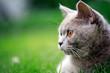 Leinwandbild Motiv British Cat