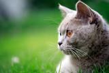 British Cat - 242460273