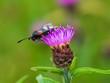 Burnet Moth on Knapweed