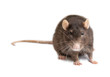 Leinwanddruck Bild - gray rat isolated on white background