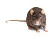 Leinwandbild Motiv gray rat isolated on white background