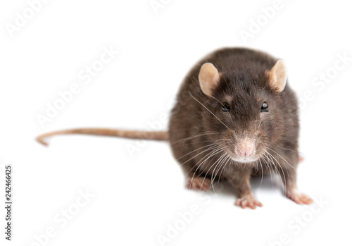 Leinwanddruck Bild gray rat isolated on white background