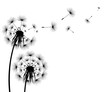 Silhouette of a flowering dandelion - 242468895