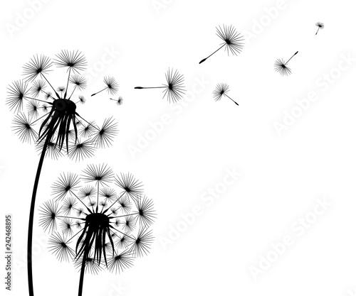 Silhouette of a flowering dandelion - 242468895