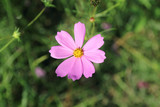 Fototapeta Kosmos - Cosmos flowers blooming in the garden © jamroenjaiman