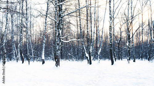 panoramic view of birch grove in snow-covered park - 242477099