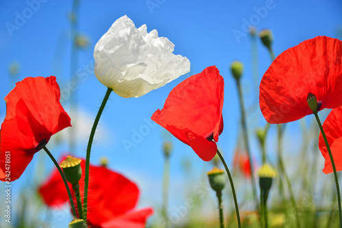 red poppies on background of blue sky - 242478051