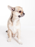 adorable chihuaua side view in studio