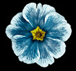 blue violet flower isolated on black background. For design. Close-up. Nature.