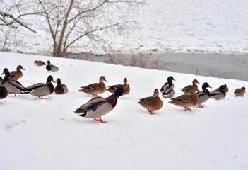 Ducks on snow.