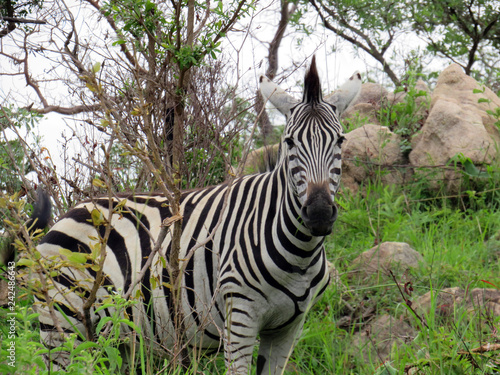 zebra in the grass - 242486643