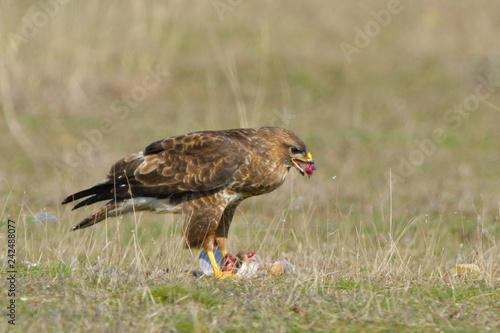 Common Buzzard eating - 242488077