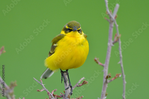 Yellow Wagtail in Springtime