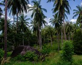 Palm tree forest in Koh Tao, Thailand. - 242490260