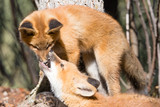 Cute young red foxes playing and biting nose - 242498076