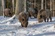 Leinwandbild Motiv wild boar in the snow