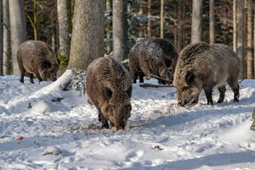 wild boar in the snow © Andrea Izzotti