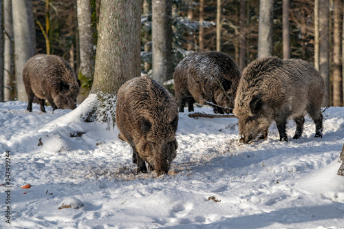 Leinwanddruck Bild wild boar in the snow
