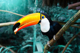 Toucan Toco sitting on a branch of the tree in the rainforest - 242499856