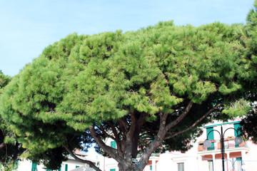 Chioma di pinus pinaster con facciata