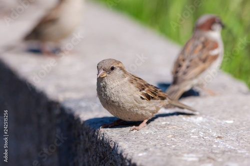 portrait of sparrow - 242515256