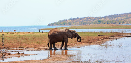 African Elephant standing on the edge of Lake Kariba drinking in Matusadona National Park, with a scenic mountain and water background