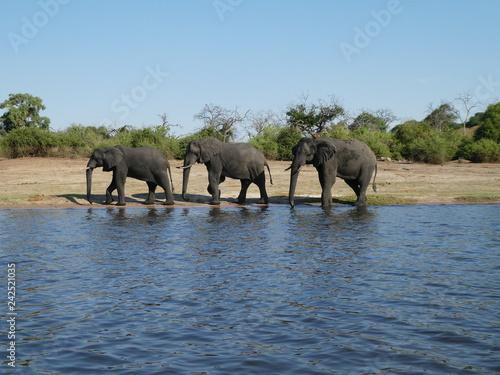 Three Elephants Walking Along River
