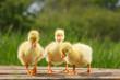 Leinwanddruck Bild - yellow little duck geese on natural green background.
