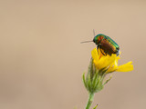 Colorful Cryptocephalus sericeus beetle sitting on a yellow blooming flower