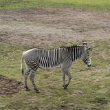 Zebra in nature - 242531067