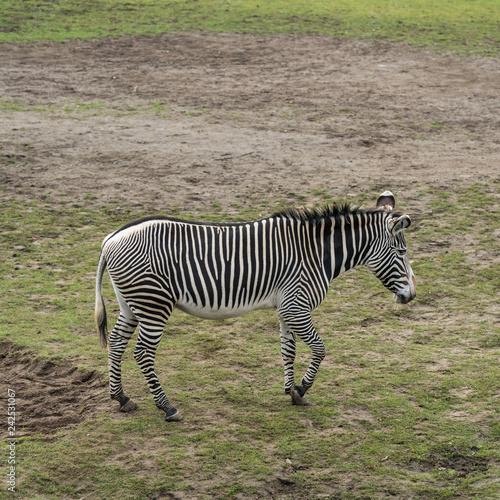 Obraz na płótnie Zebra in nature