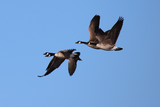 canada geese in flight - 242539847