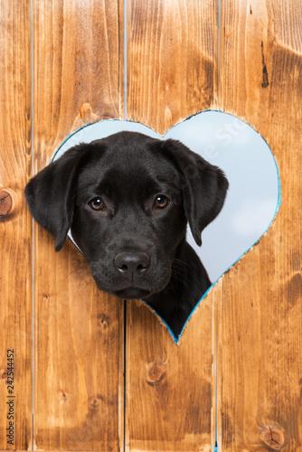 Leinwandbild Motiv Labrador retriever puppy looks out of a hole in the fence