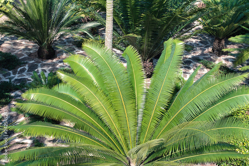 Top view on bright green palm leaves. Small palms growing in a garden,