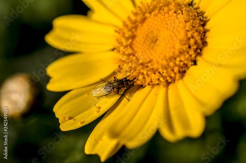 Foto Murales Yellow Daisy Close-up Photography Macro
