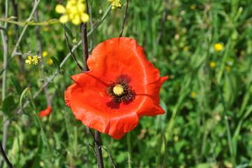 The beautiful Papaver flower in garden