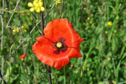 The beautiful Papaver flower in garden - 242554800
