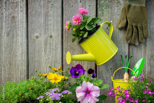 Seedlings of garden plants and flowers in flowerpots. Garden equipment: watering can, buckets, shovel, rake, gloves on wooden background. Copy space for text.