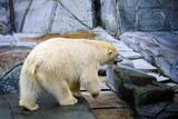 View of a white polar bear at the Copenhagen Zoo - 242577802