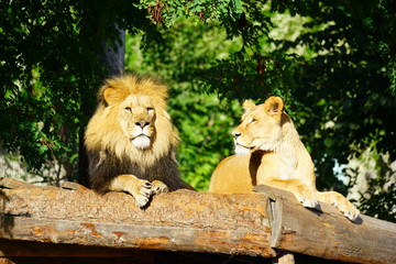 A majestic lion and his lioness at the Copenhagen Zoo